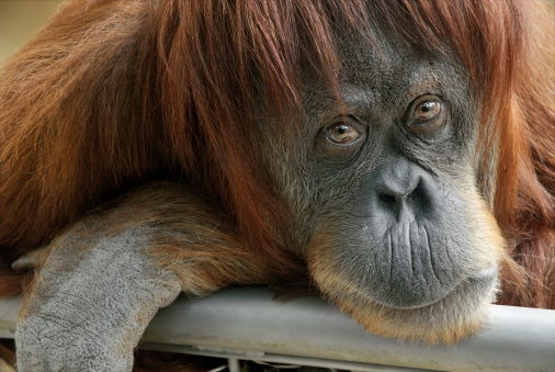 Beautiful Orangutan Looking Into The Camera Stock Photo - Download Image Now