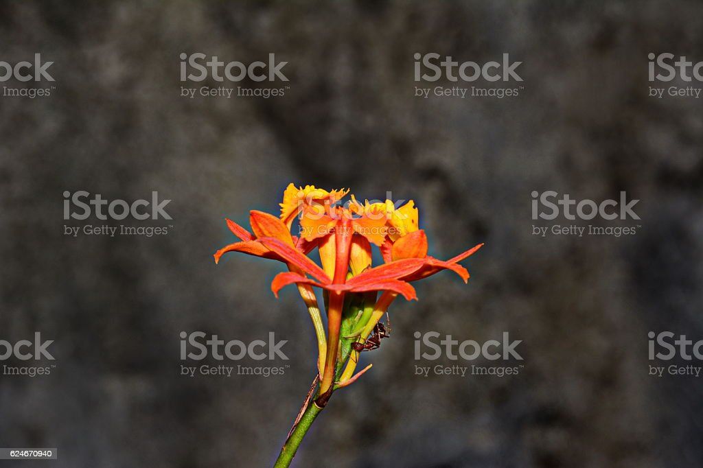 Beautiful orchid Epidendrum cinnabarinum stock photo