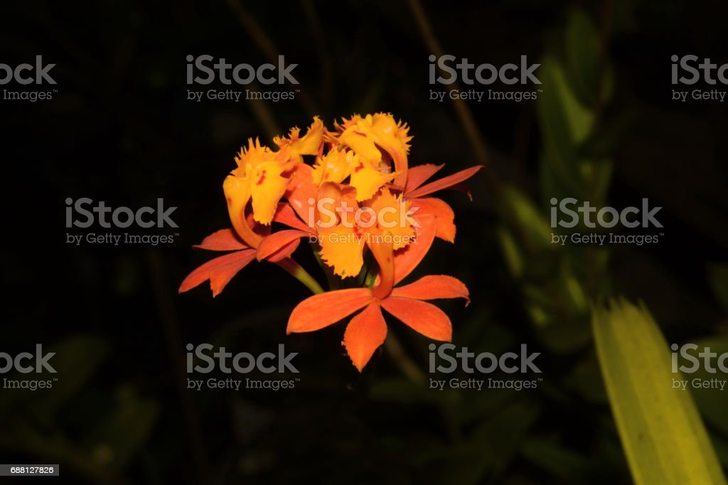 Beautiful orchid Epidendrum stock photo