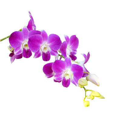 Beautiful orchid flower with isolated on white background and natural background.  Bouquet of purple and white.