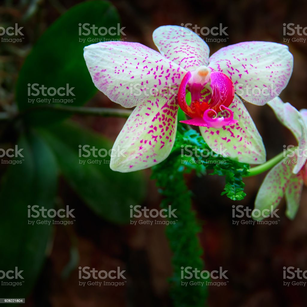 Beautiful orchid flowers on dark background bright white with pink beautiful orchid flowers on dark background bright white with pink speckles flowers for poster izmirmasajfo