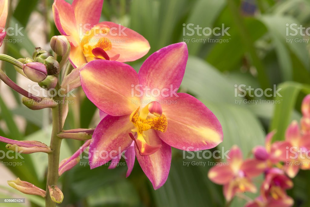Beautiful orchid flowers : selective focus. stock photo