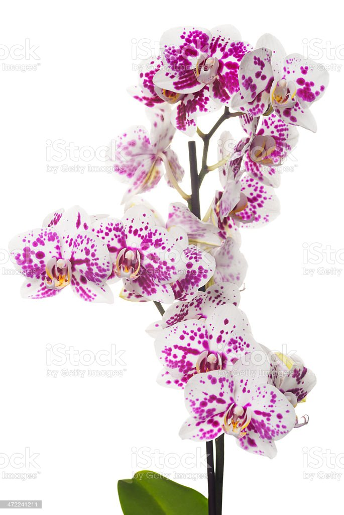 Beautiful orchid on white (XXXL) royalty-free stock photo