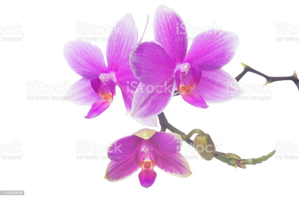 Beautiful orchid on white (XXXL) royalty-free stock photo