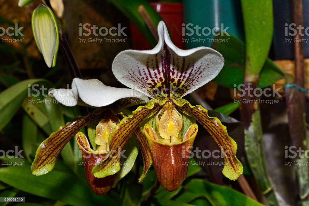 Beautiful orchid Paphiopedilum (slipper orchid) royalty-free stock photo
