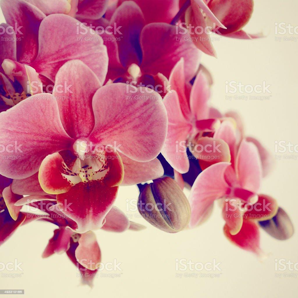 Beautiful orchid (Phalaenopsis) stock photo