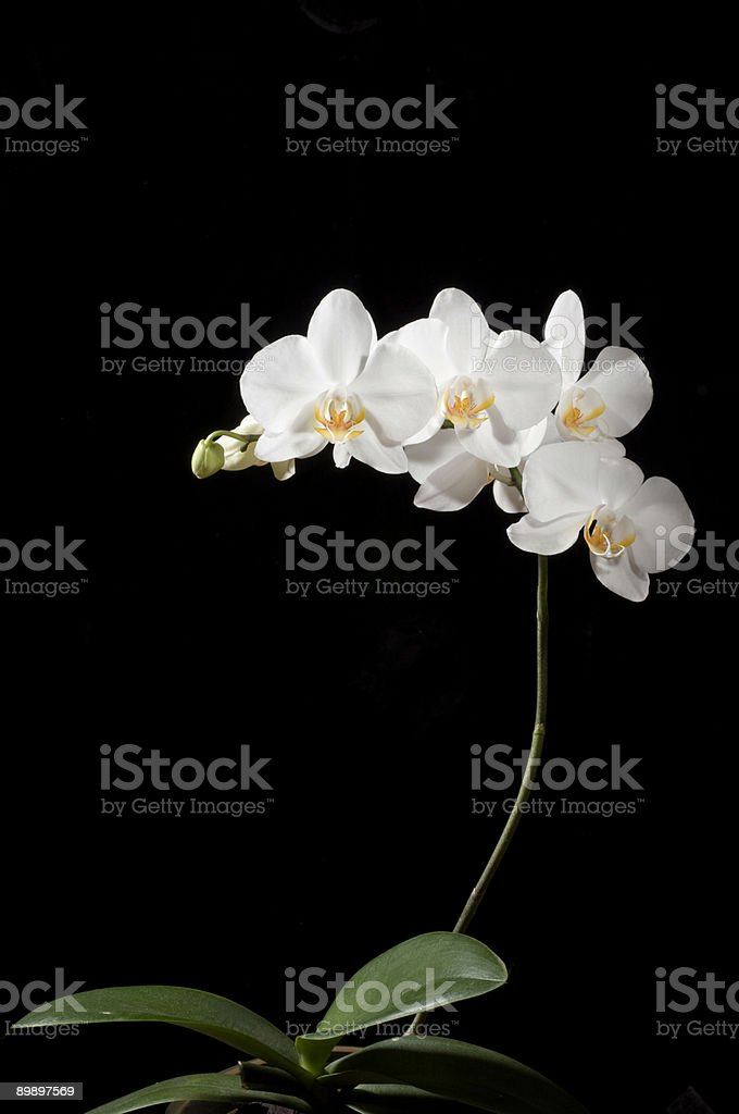 Beautiful orchid royalty free stockfoto