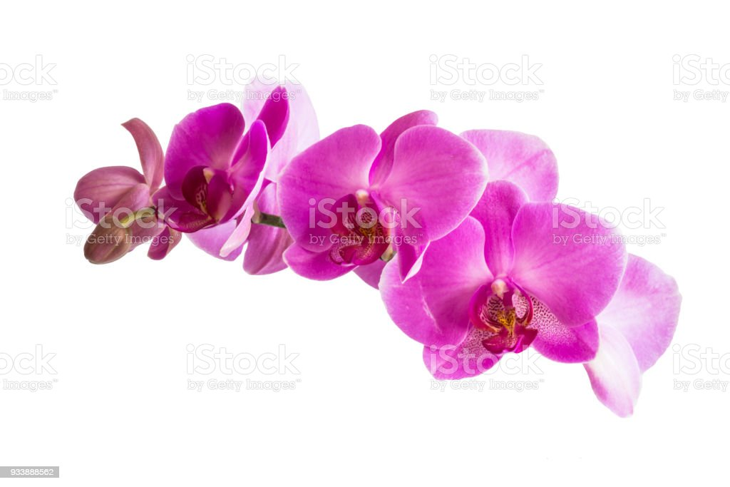 Beautiful orchid purple flowers isolated on white background. stock photo