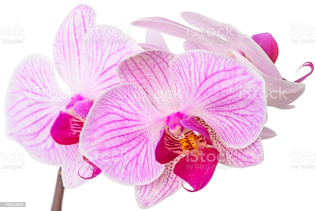 Beautiful orchids on white stock photo