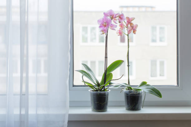 beautiful orchids on windowsill - orchidea foto e immagini stock
