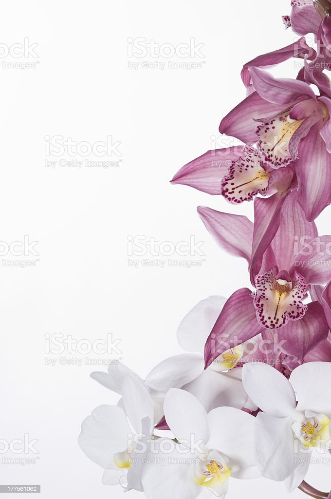 Beautiful orchids  over white background stock photo