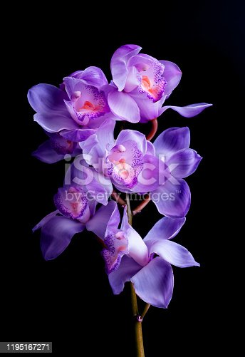 Beautiful orchids purple on black color background.flower and nature