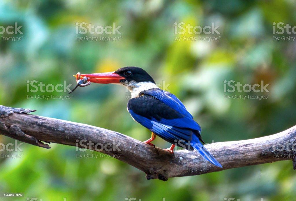 A beautiful Oriental Dwarf Kingfisher (Ceyx erithaca) bird standing on a branch taken in Thailand. stock photo