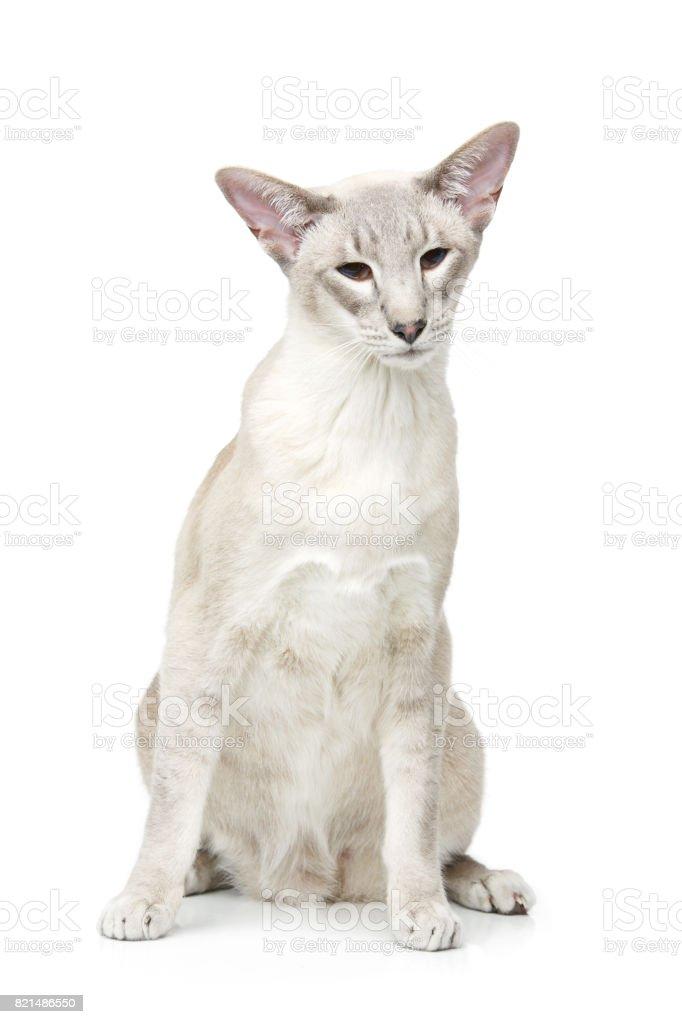 Beautiful oriental siam cat stock photo