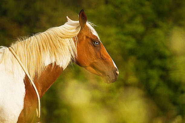 beautiful paint horse beautiful paint horse paint horse stock pictures, royalty-free photos & images