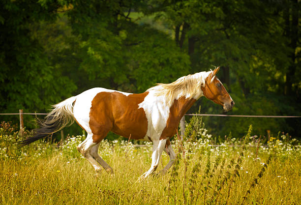 beautiful paint horse  running in nature beautiful paint horse running in nature paint horse stock pictures, royalty-free photos & images