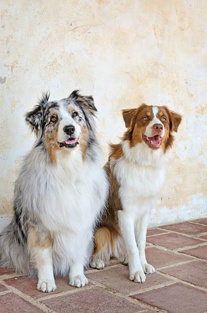 Beautiful Pair of Australian Shepherd Dogs stock photo