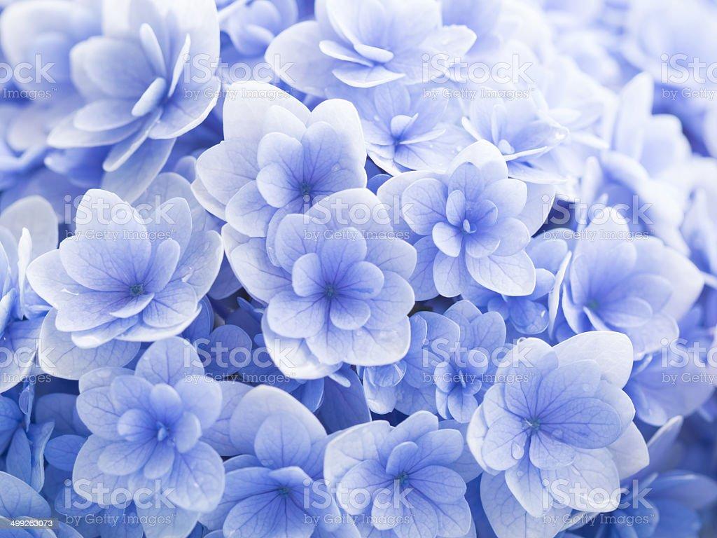 Wunderschöne Hortensie in zartem Blau regnerischen Tag – Foto