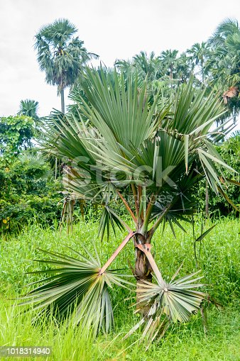 1146114680istockphoto beautiful palm tree and its leaves of in sunlight. 1018314940