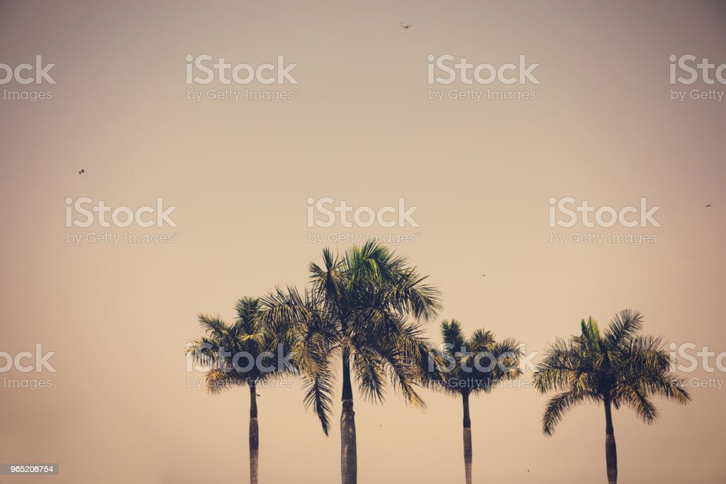 beautiful palm trees standing tall zbiór zdjęć royalty-free