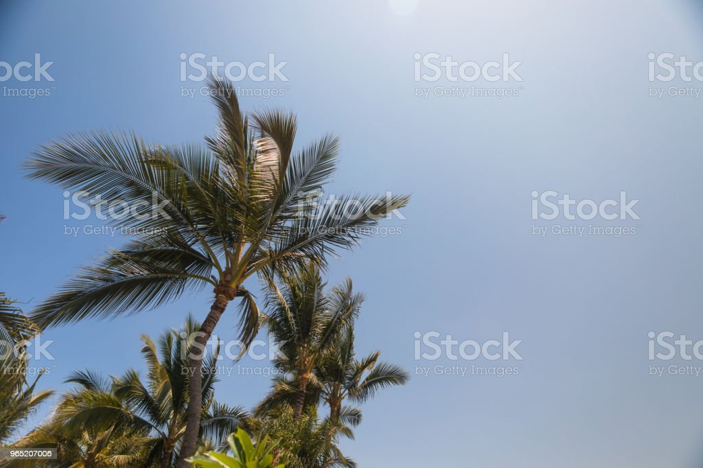 beautiful palm trees standing tall royalty-free stock photo