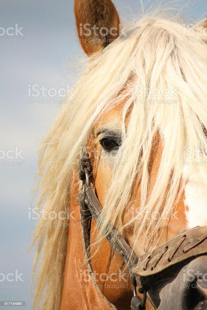 Beautiful palomino draught horse head close up stock photo