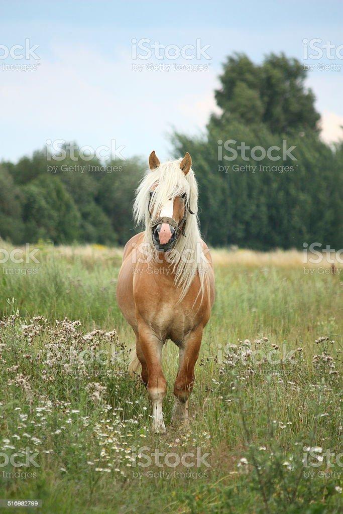 Beautiful palomino draught horse walking at the field stock photo