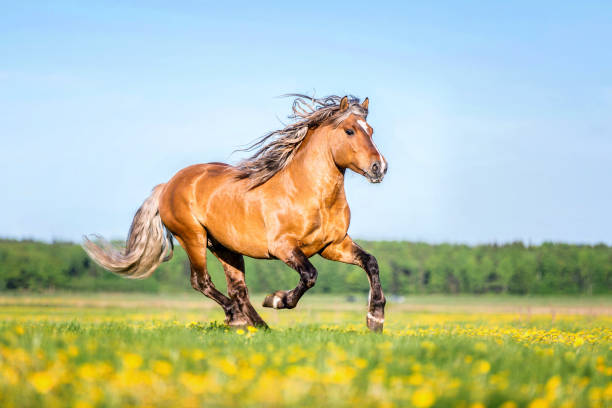 Beautiful Palomino horse ruuning free. Horse running in a forest arabian horse stock pictures, royalty-free photos & images
