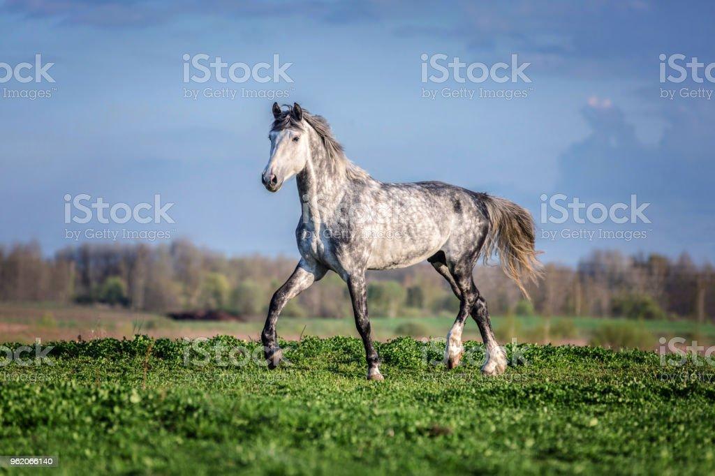 Beautiful Palomino horse ruuning free. stock photo