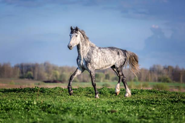 schöne palomino pferd ruuning frei. - andalusier pferd stock-fotos und bilder