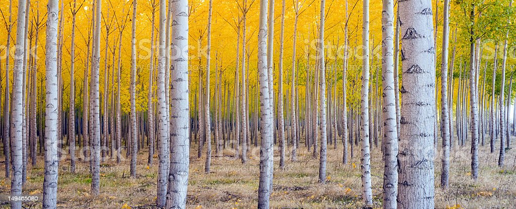 Beautiful Panoramic Compositon of Tree Forest Turning Colors Autumn royalty-free stock photo