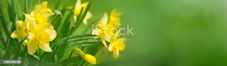 istock Beautiful Panoramic Spring background With Daffodils Flowers 1090408238