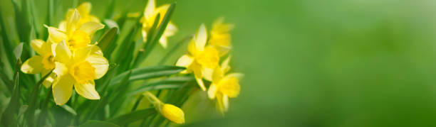 Beautiful Panoramic Spring background With Daffodils Flowers Beautiful Panoramic Spring background. Daffodils growing outdoors in Sunny day. Yellow Spring Flowers on green background. Wide Angle Wallpaper, billboard or Web banner With Copy Space for text April stock pictures, royalty-free photos & images