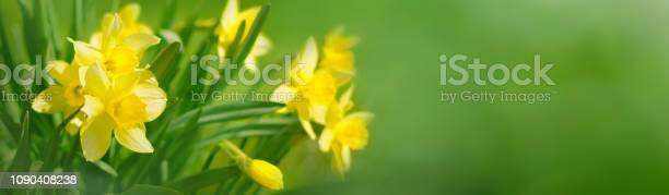 Photo of Beautiful Panoramic Spring background With Daffodils Flowers