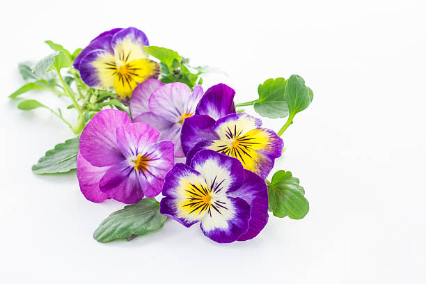 beautiful pansy flowers isolated on white background beautiful pansy flowers isolated on white background pansy stock pictures, royalty-free photos & images