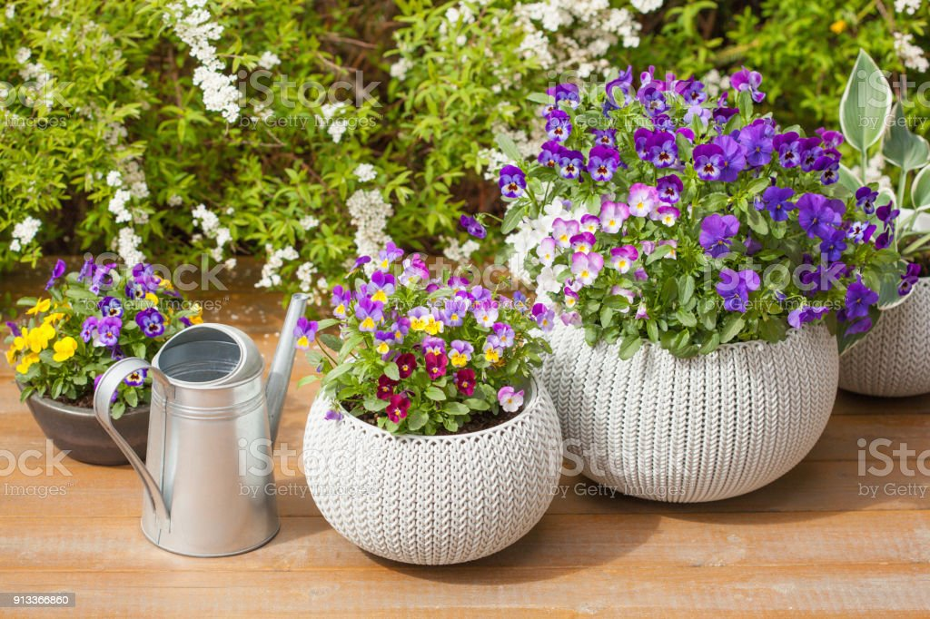 beautiful pansy summer flowers in flowerpots in garden royalty-free stock photo
