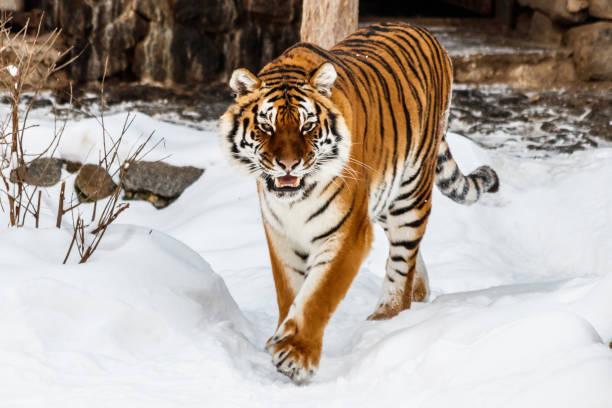 mooie panthera tigris op een besneeuwde weg - siberië stockfoto's en -beelden