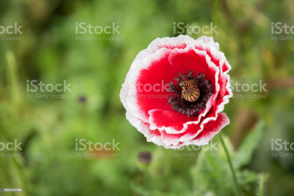 Beautiful Papaver rhoeas flower with bee in garden stock photo