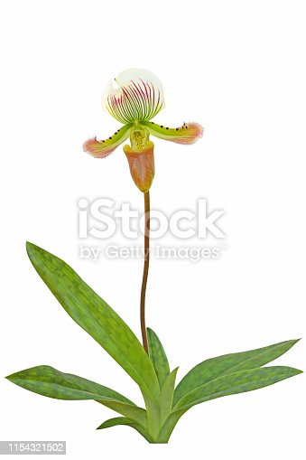 Beautiful paphiopedilum callosum orchid isolated flower on white background with clipping path