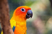 istock Beautiful parrot bird, Sun Conure on tree branch. Colorful portrait bird. 1207518910