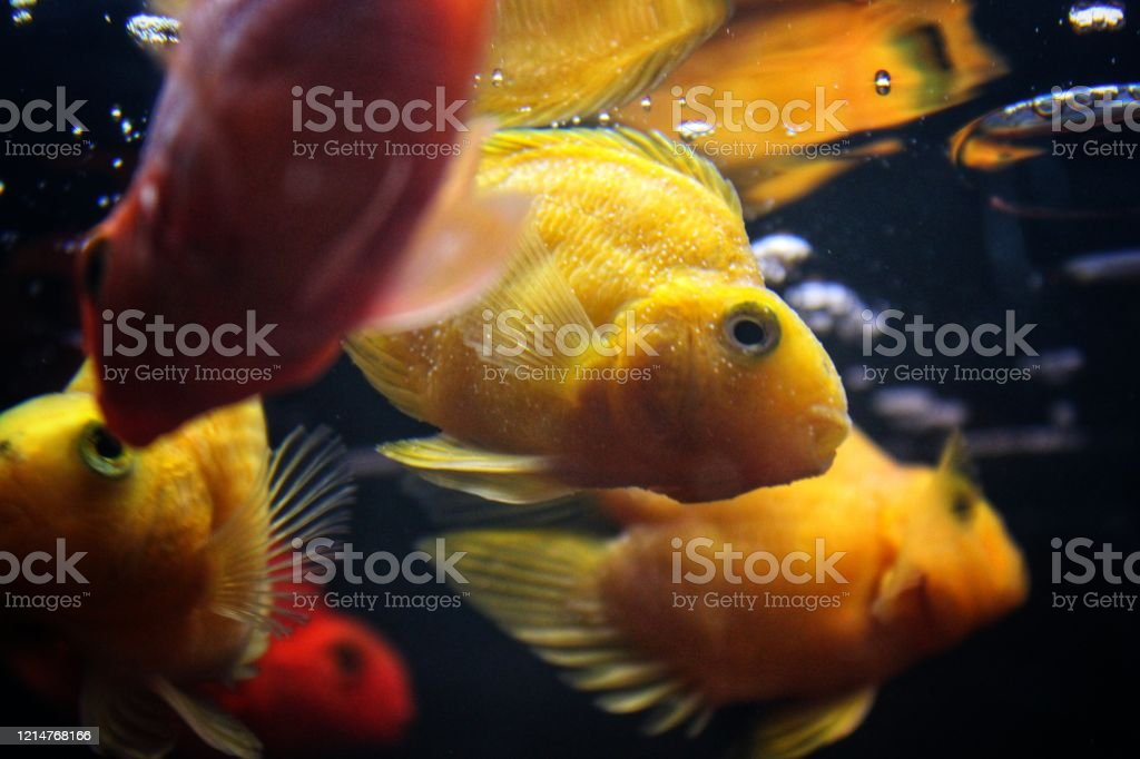 Beautiful Parrot Fish And Goldfish In Home Aquarium Gold Fish Tank For Home Stock Photo Download Image Now Istock