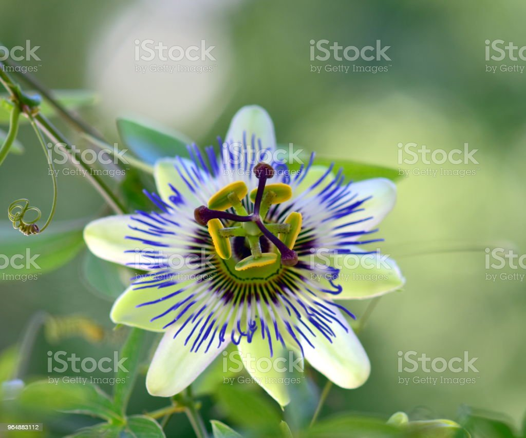 Beautiful passion flower royalty-free stock photo