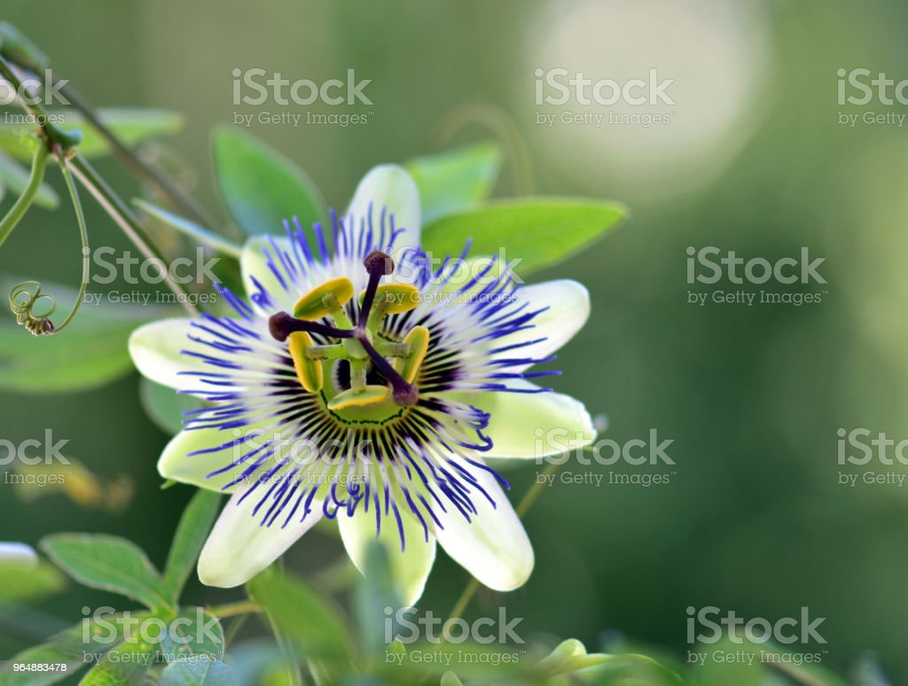 Beautiful passion flower royalty-free stock photo
