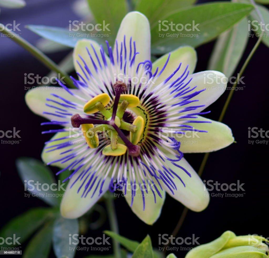 美麗的激情花 - 免版稅在開花圖庫照片