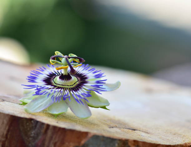 Wunderschöne Passionsblume – Foto
