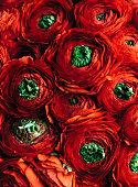 istock Beautiful passionate vivid red ranunculus vertical texture, close up view 948666994