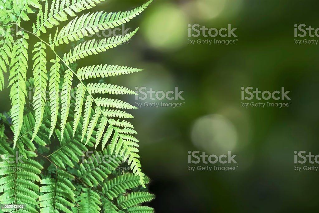 Beautiful Pattern of Tree Fern Leaves and Green Bokeh Background. royalty-free stock photo