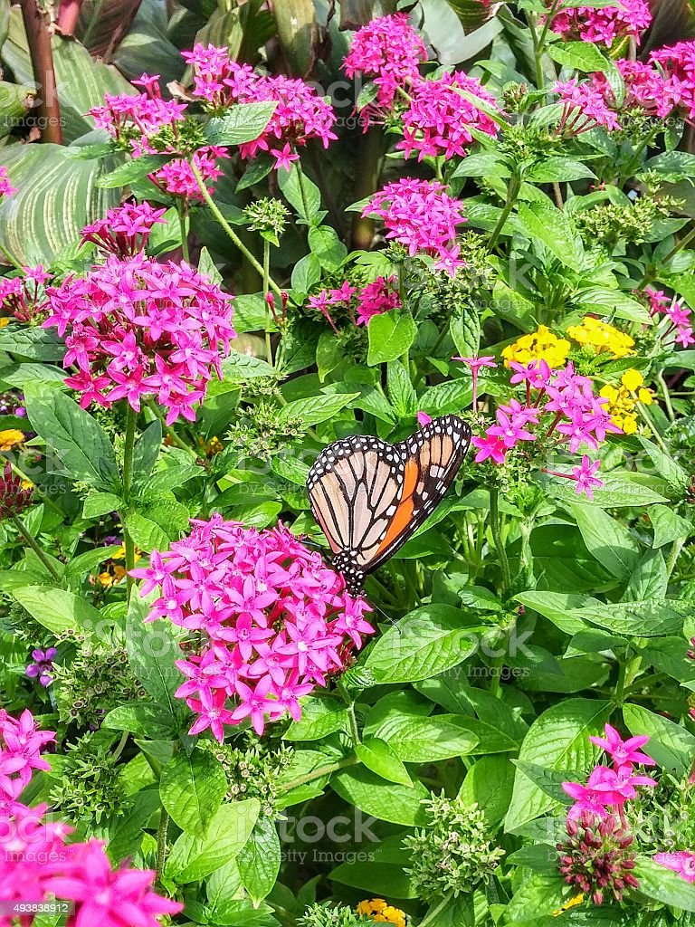 Beautiful Patterned Monarch Butterfly Suckling Bright Pink Flower