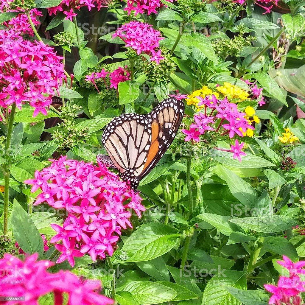 Beautiful Patterned Monarch Butterfly Suckling Pink Flower Bush