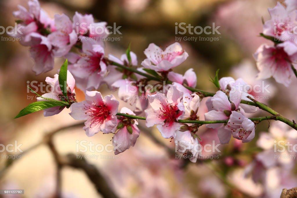 Güzel şeftali çiçeği - Royalty-free Büyümek Stok görsel
